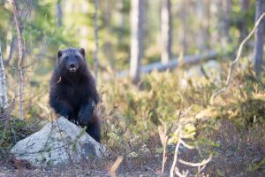 Lawsuit Filed over Government's Refusal to Protect Wolverines