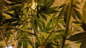 Detroit's Recreational Marijuana Provision Challenged in Court