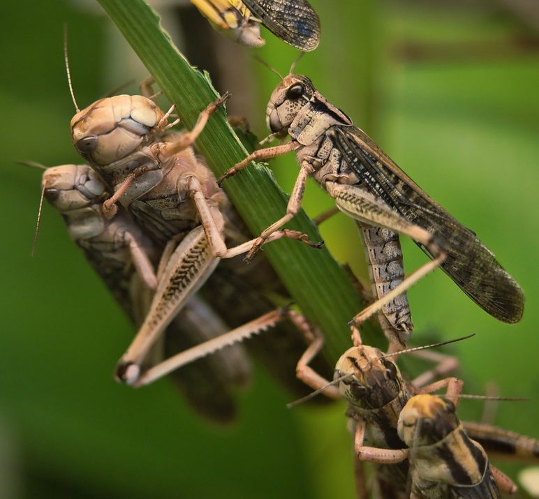 Close-up image of several grasshoppers clinging to plant material and each other.