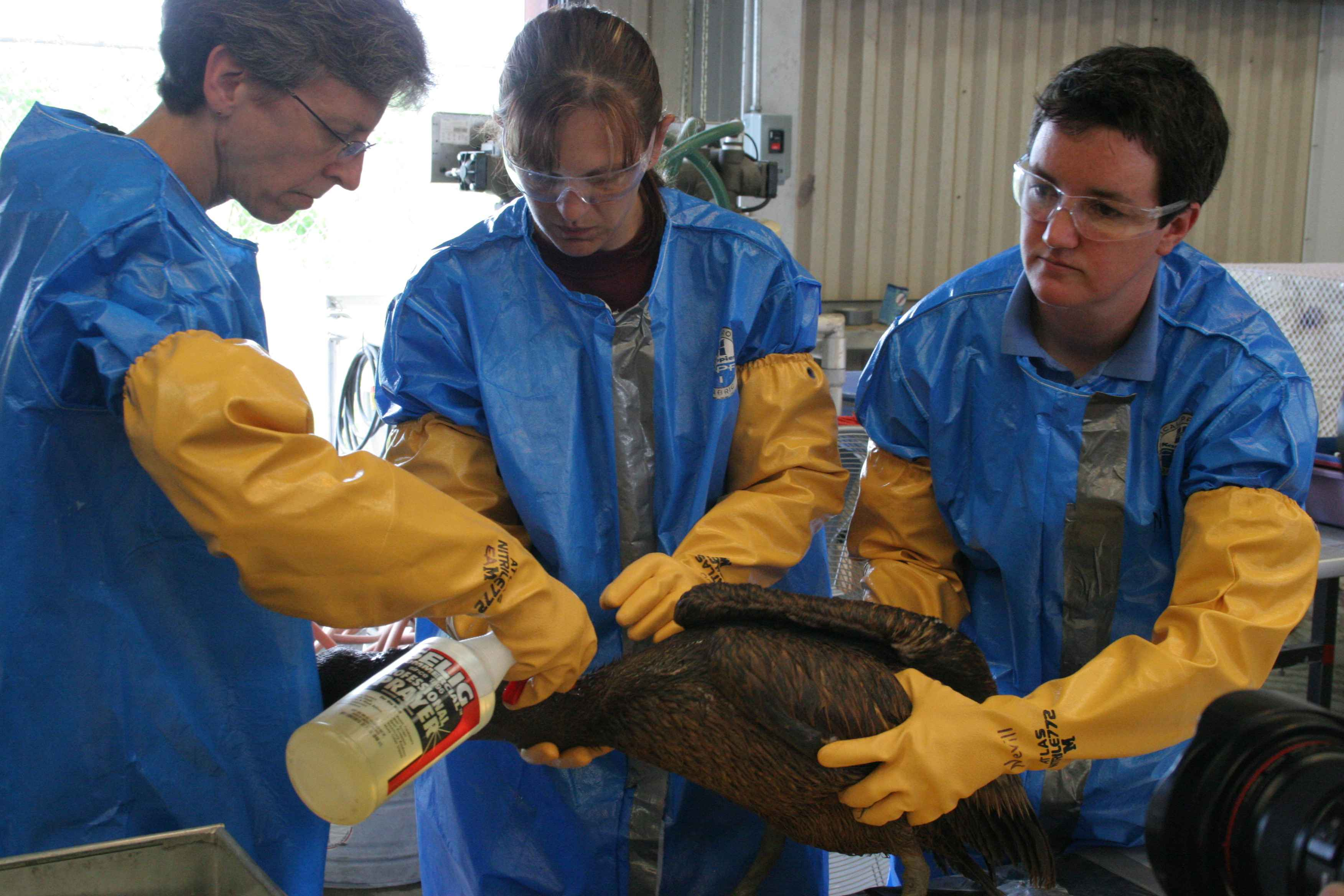 People wearing protective gear washing off an oil-covered bird.